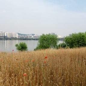 flower-han-river