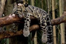clouded_leopard_9